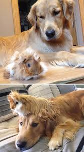 best 25 baby guinea pigs ideas on pinterest cute guinea pigs
