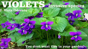 common violet viola odorata this plant can reap havoc in your