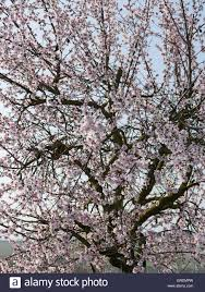 blooming almond tree at german wine route stock photo royalty
