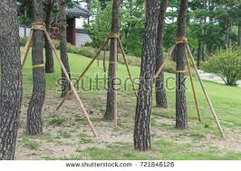 tree stakes tree supportsyoung trees being supported by stock photo royalty
