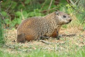 woodchucks u0026 groundhogs humane removal unwanted animals