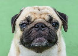 The Blind Spot In The Eye Is Due To Tumor Of The Eye In Dogs Petmd