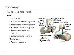 Talus Ligaments Injuries To The Lower Leg Ankle And Foot Anatomy Provide