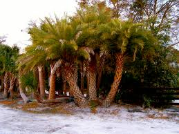 sylvester palm tree price availability list cod trees