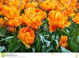keukenhof flower gardens tulips park keukenhof flower garden holland stock image