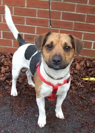 bichon frise x jack russell george clooney u2013 2 year old male beagle cross jack russell terrier