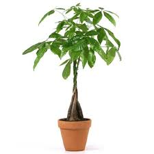 money trees terracotta pot from easternleaf
