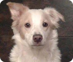 australian shepherd los angeles rescue marina del rey ca chihuahua miniature pinscher mix meet honey