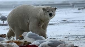 bears of the last frontier polar bear fact sheet nature pbs