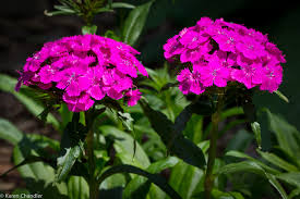 Sweet William Flowers Flower Photography Visioning