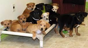 labrador dumped labrador mix puppies homes