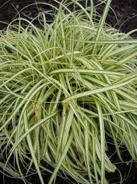 ornamental grass id 4