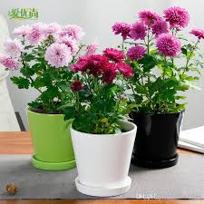 chrysanthemum seed flowering potted ornamental plants in the