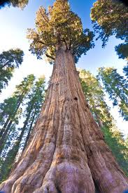 Trees Worldwide General Sherman Tree The World S Largest Tree Tourism Attraction