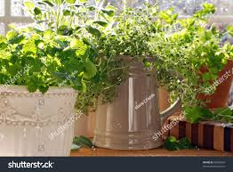 Decorative Canisters Kitchen by Kitchen Herb Garden Lemon Balm Sage Stock Photo 92356039