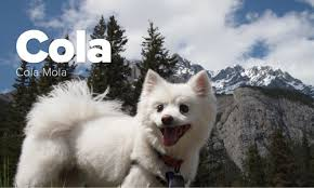 american eskimo dog ireland the american eskimo dog pack photos of american eskimo dogs