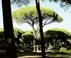 stone pine wikipedia