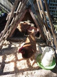 how to keep chickens in your backyard sydney