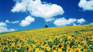 Flower Field Wallpaper - flowers nature sunflowers flowers field flower wallpapers for