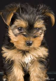 yorkshire yorkie terrier dogs puppy too cute pinterest