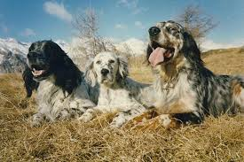 types of setter dog breeds dog breeds english setter temperament and personality dogalize