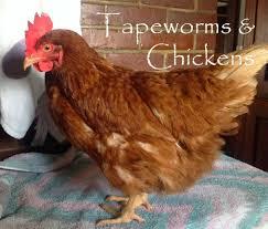 katie u0027s farm tapeworms u0026 chickens advice needed
