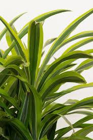 dracaena buy dracaena deremensis lemon lime at root 98 warehouse for only