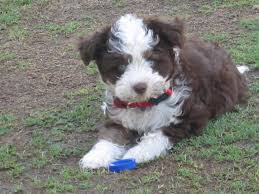 australian shepherd lab mix for sale aussiedoodle australian shepherd poodle mix