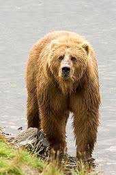 Are Bears Color Blind Brown Bear Wikipedia