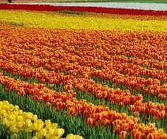 lehi s tulip festival in utah travel utah