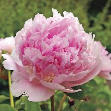 Peonies For Sale Eden U0027s Perfume Peony For Sale At Wayside Gardens
