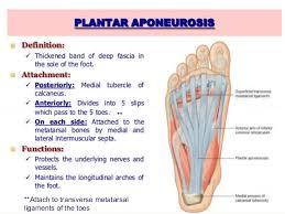 Foot Anatomy Nerves Foot Radiological Anatomy Shorouk Zaki