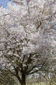 prunus mume japanese plum omoi no available from