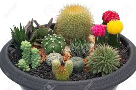 cactus in pots stock photo picture and royalty free image image