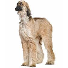 afghan hound weight afghan hound dog breed information pictures u0026 more