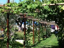 university of virginia l il pergolato con l uva fragola e le trombette picture of villaggio
