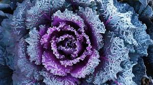 flowers cabbage blooms flowers petals nature beauty beautiful