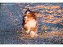 australian shepherd adoption view ad miniature australian shepherd puppy for sale colorado