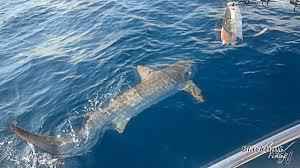 huge tiger shark caught while drift fishing youtube