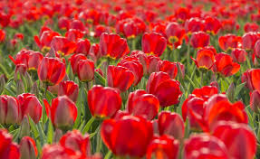 Netherlands Tulip Fields How To See Tulips In The Netherlands Without Going To Keukenhof