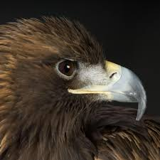 golden eagle national geographic