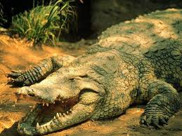 crocodile wallpapers hd free wallpaper