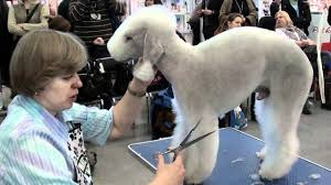 does a bedlington terrier shed bedlington terrier grooming youtube