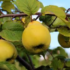 mail order fruit cydonia vranja vranja quince tree mail order trees