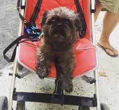 affenpinscher vs german shepherd 31 pictures of dogs rolling around in strollers gallery dogtime