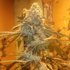 wedding cake genetics wedding cake f2 seed genetics sol seeds cannabis seeds