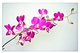 Orchid Flower Pic - free photo digital graphics pink orchid free image on
