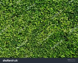 ornamental shrubs wall shrubs stock photo 521595661