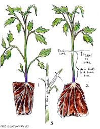 grow tomatoes deep good tips garden tomatoes pinterest