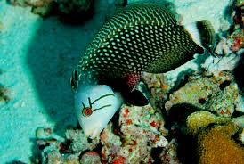 dragon wrasse saltwater fish pinterest aquarium ideas and